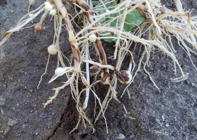 2018-06-13 Early Rhizoc
