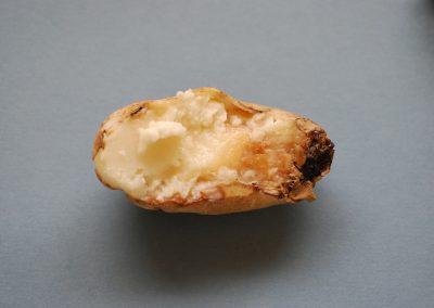 Bacterial bud rot 14