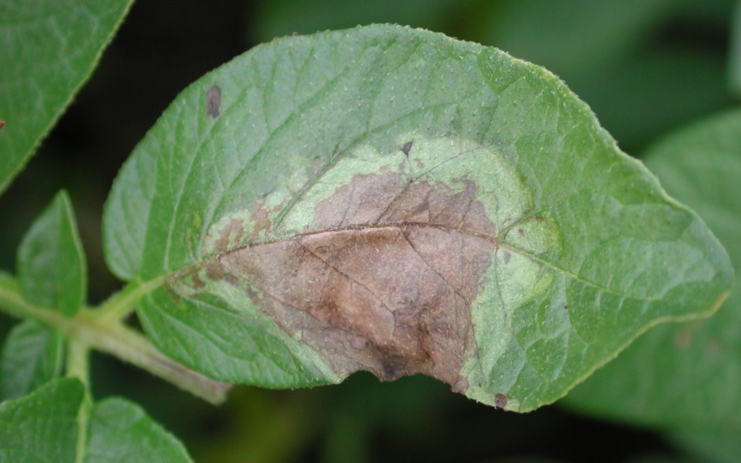 Potato leaf with late blight