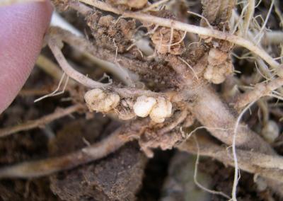 potato powdery scab galls upclose