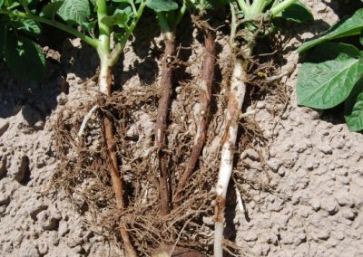 Rhizoctonia Canker & Black Scurf