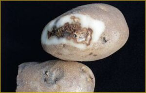 Fusarium dry rot on tubers