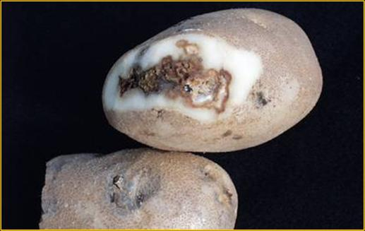 Fusarium dry rot on tubers